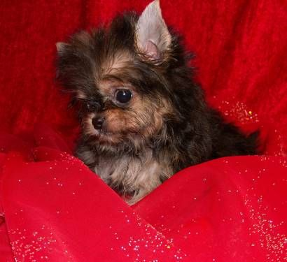 Yorkie Chihuahua Mix Chorkie What Do You Think Yorkie Chihuahua Mix Forever Puppy Puppies And Kitties