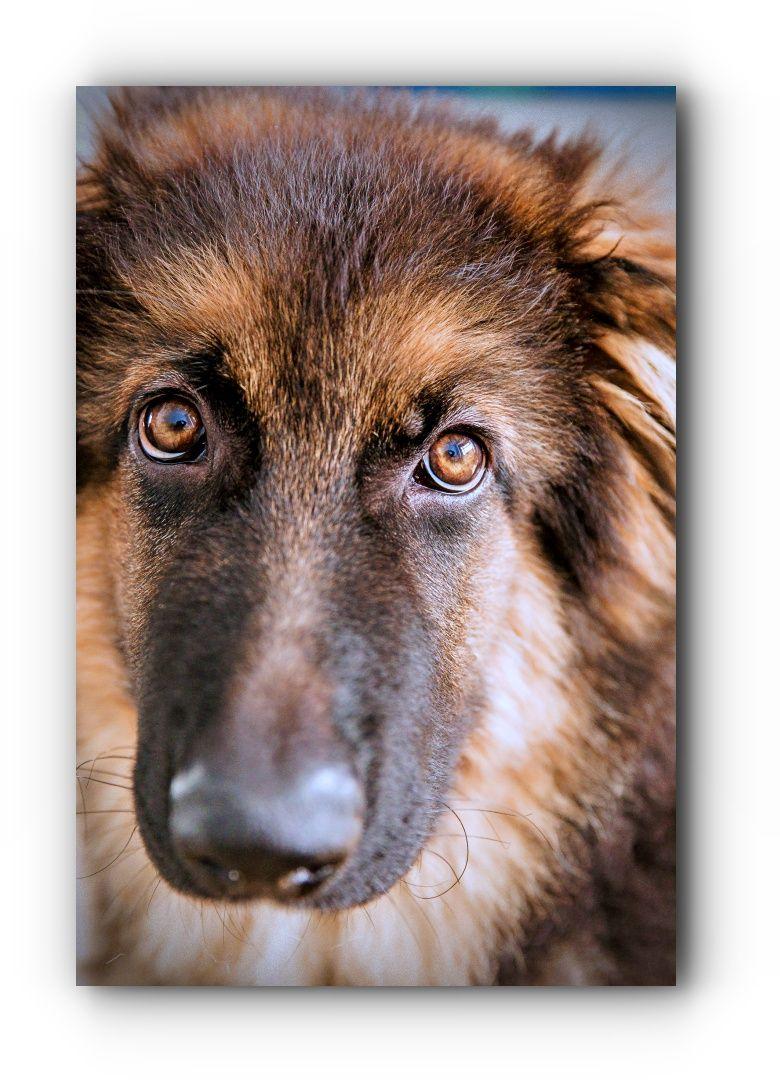 Get This Now German Shepherd Rescue California German