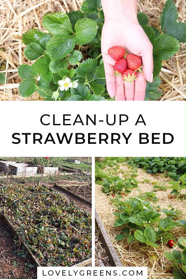 How to clean up a Strawberry Bed