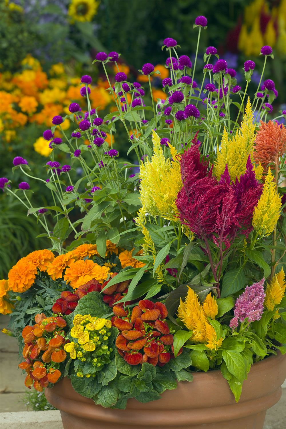 Celosias are beautiful with these marigolds gomphrena and calceolaria patio pots and - Potted autumn flowers ...