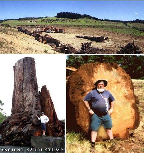 Hard Woods: 10 Amazing Petrified Forests - Kauris of New Zealand