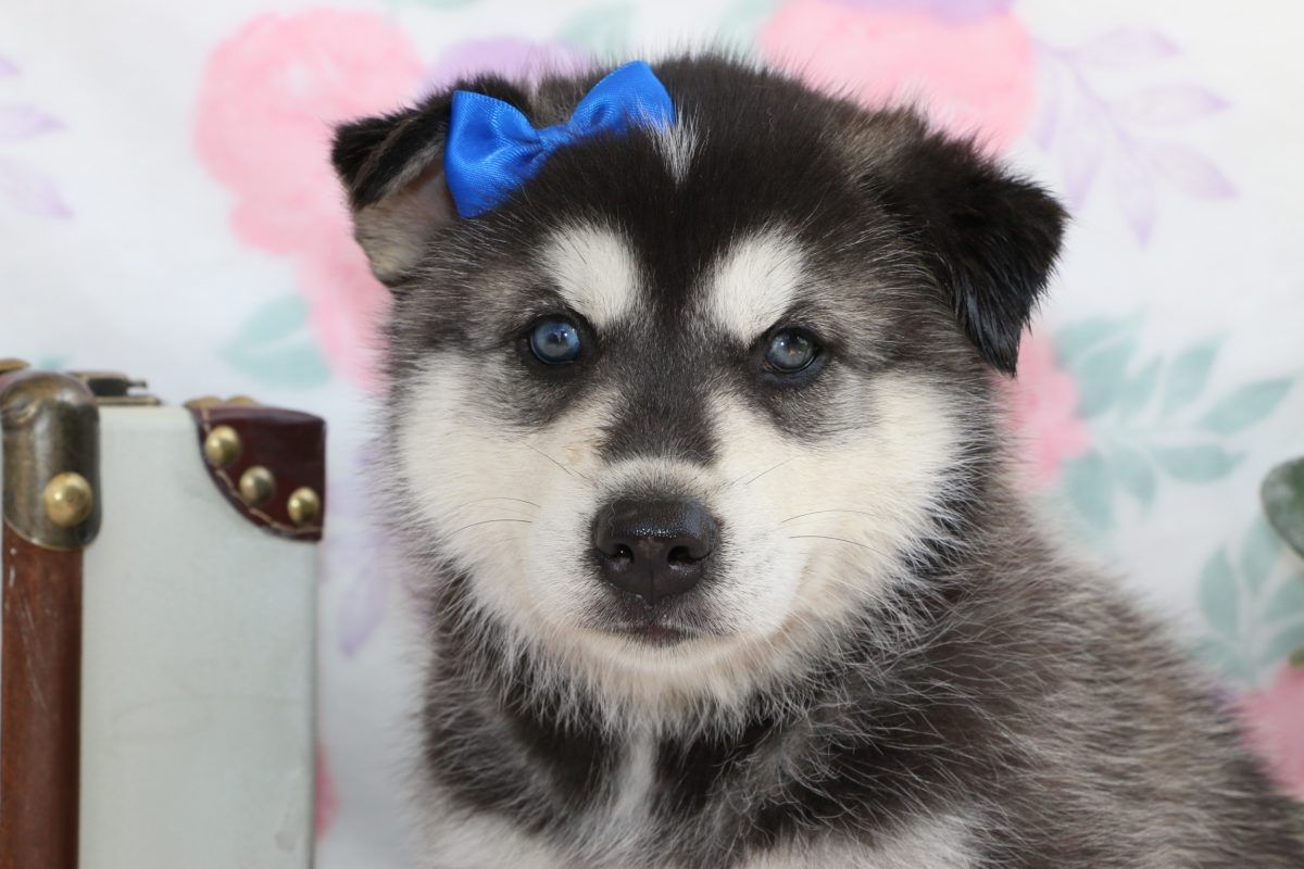 Mandy A Siberian Husky Puppy For Sale In Bremen Indiana