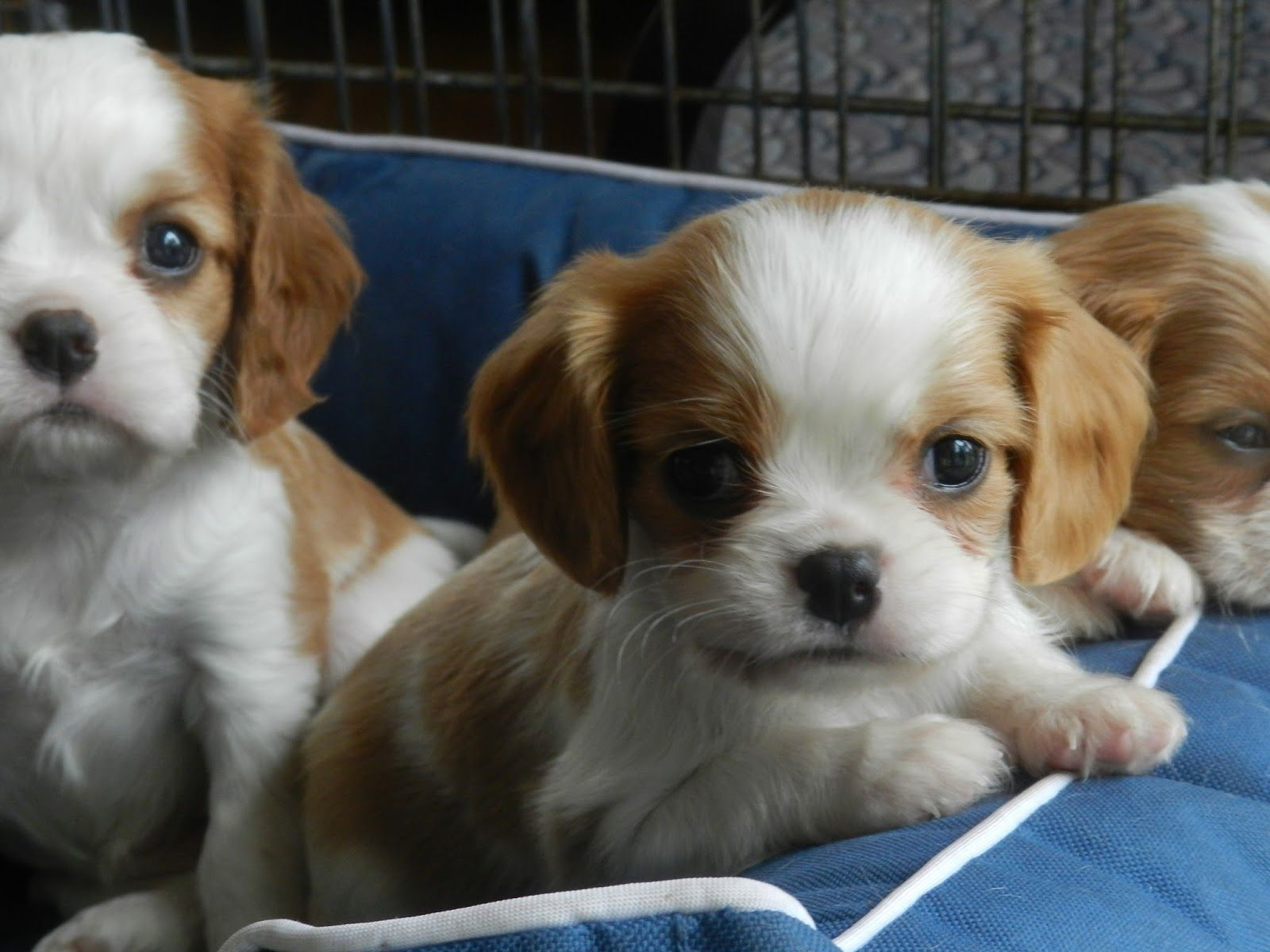 Pin By Matthew Jager On Cavalier King Charles Spaniels Cavalier King Charles King Charles Spaniel King Charles