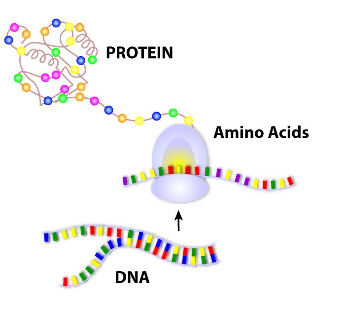 DNA to protein | Molecular biology