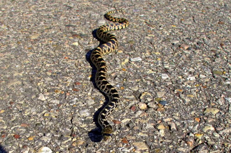 a picture and name of wisconsin snakes google search gopher snake