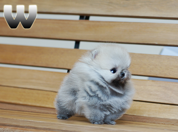 Lulu Vem Pra Mim Pomeranian Puppy Teacup Toy Pomeranian