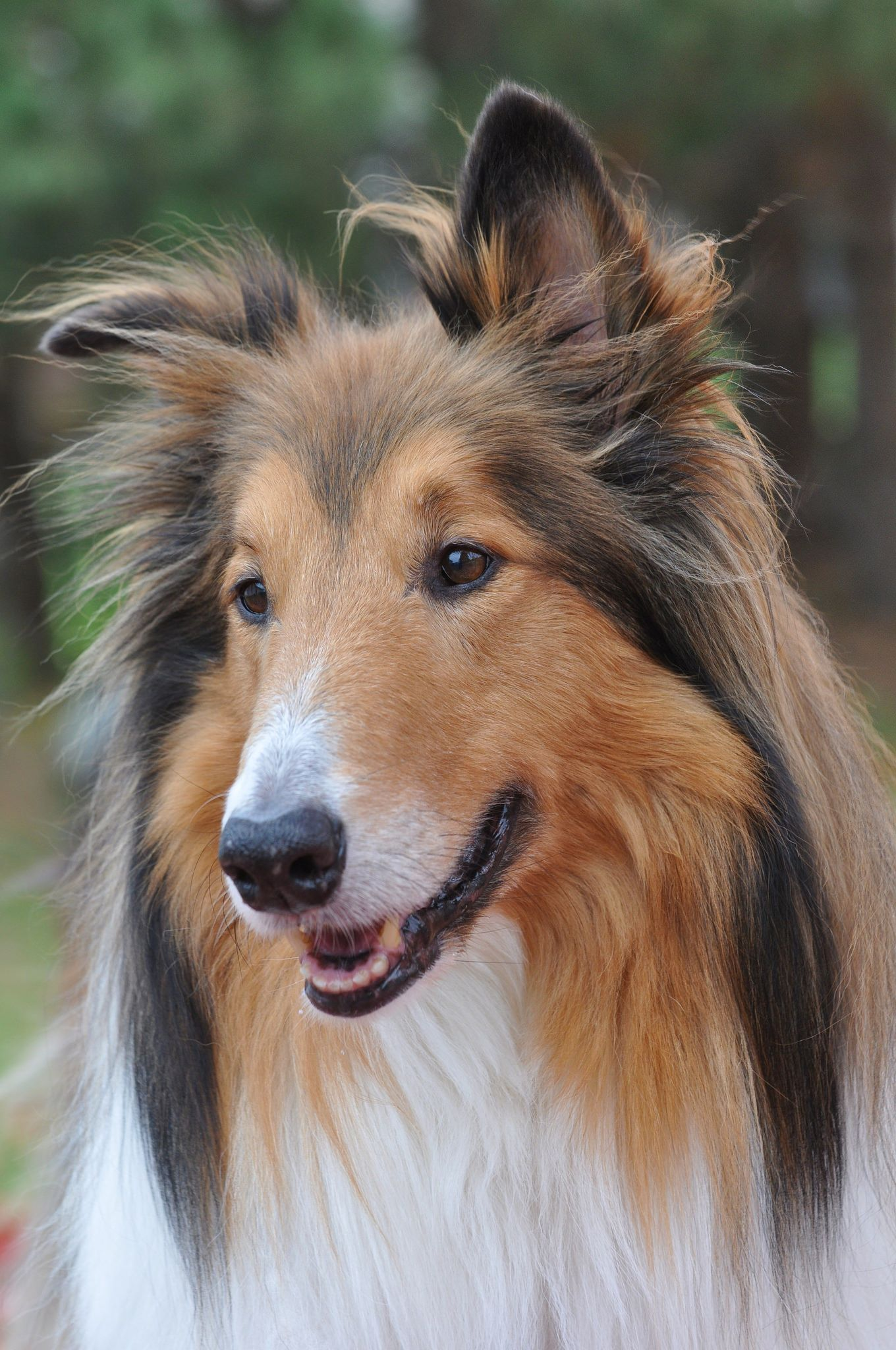 Our Sable And White Rough Collie Buddy Best Dog Ever 1121 Rough Collie Dogs Collie