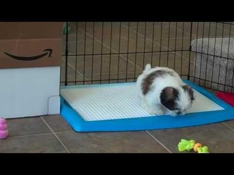 Wizdog Potty Training Shih Tzu Puppy Shih Tzu Puppy Shih Tzu