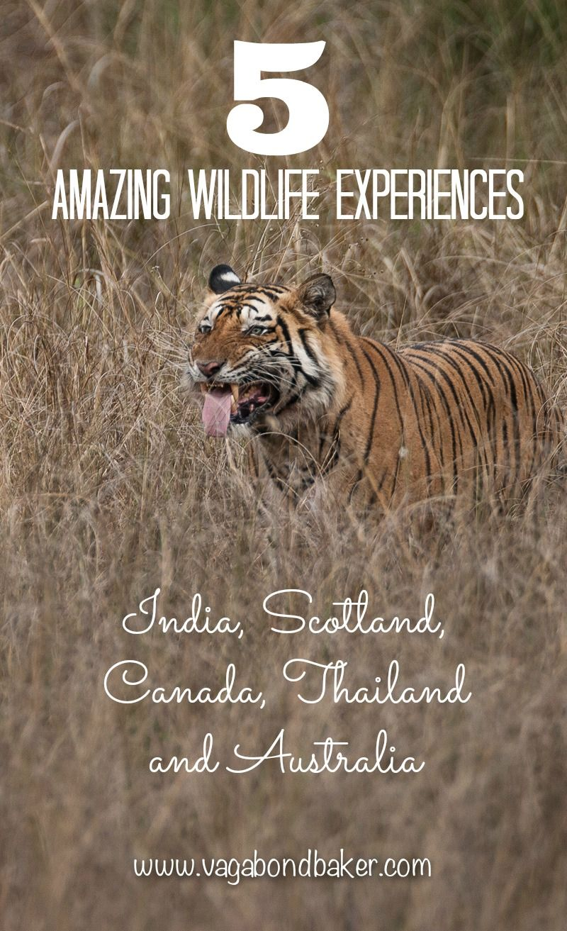 5 Amazing Wildlife Experiences // India // Canada // Scotland // Thailand // Australia