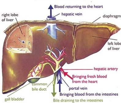 Liver Pain - Causes, Location, Symptoms And Treatment   Pinterest ...