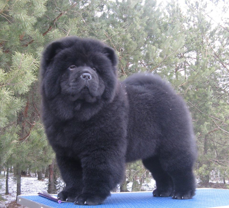 Blue Chow Puppy Chow Chow Puppy Puppies Chow Chow Dogs