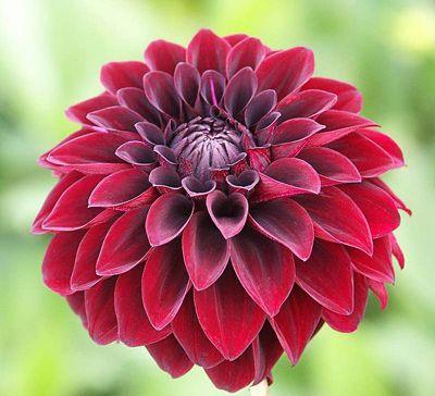 Like The Type Deep Red Dahlia Like The Color Growing Dahlias Dahlia Flower Flowers