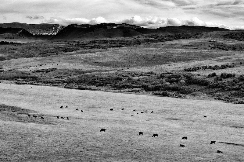 Peter Hingle: Cow's life in Central MT