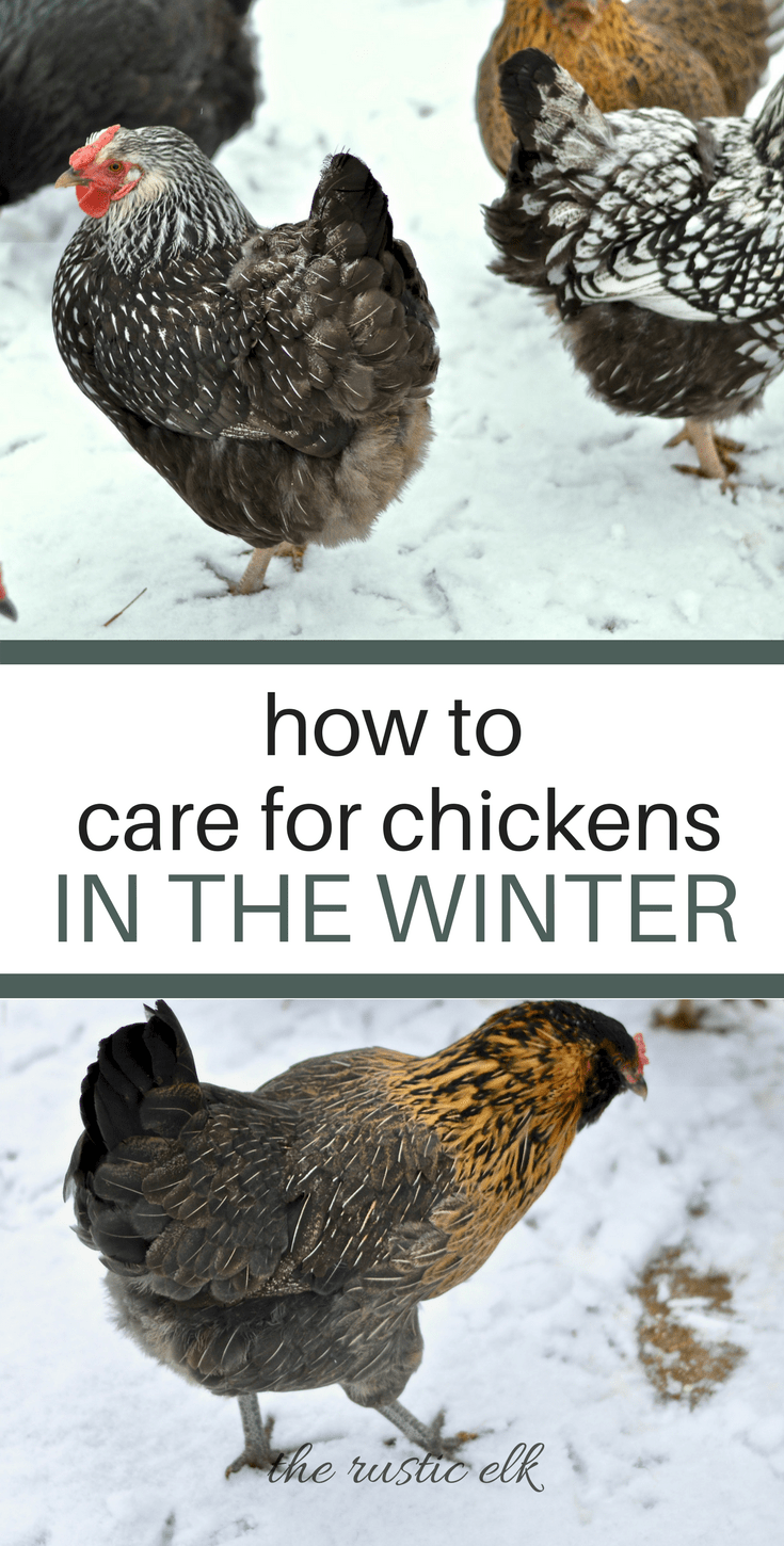 How to Care for Chickens in The Winter is part of Chickens in the winter, Raising turkeys, Raising chickens, Diy chicken coop, Chicken diy, Urban chicken farming - Caring for chickens in the cold, winter months can seem overwhelming  But, it doesn't have to be  Here is everything you need to know to care for your flock