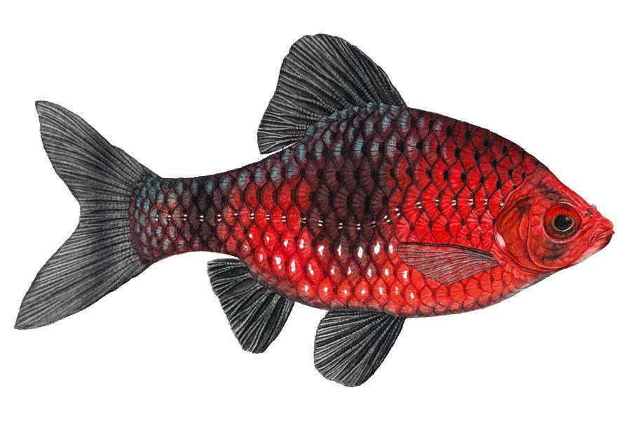 Black Ruby Barb Tropical Fish Art Fish Illustration Cool Fish