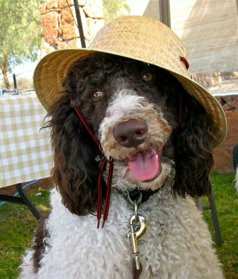 Chocolate Poodle Puppies Near Me 2021