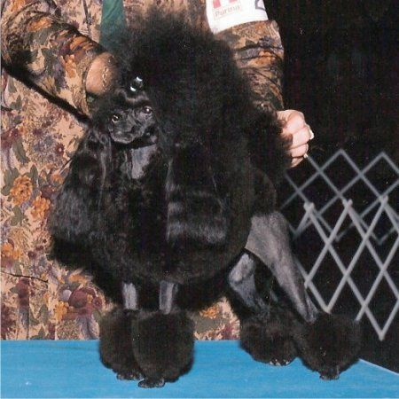 Pilote Clavier 600 Microsoft Poodle Dog Daycare Toy Poodle