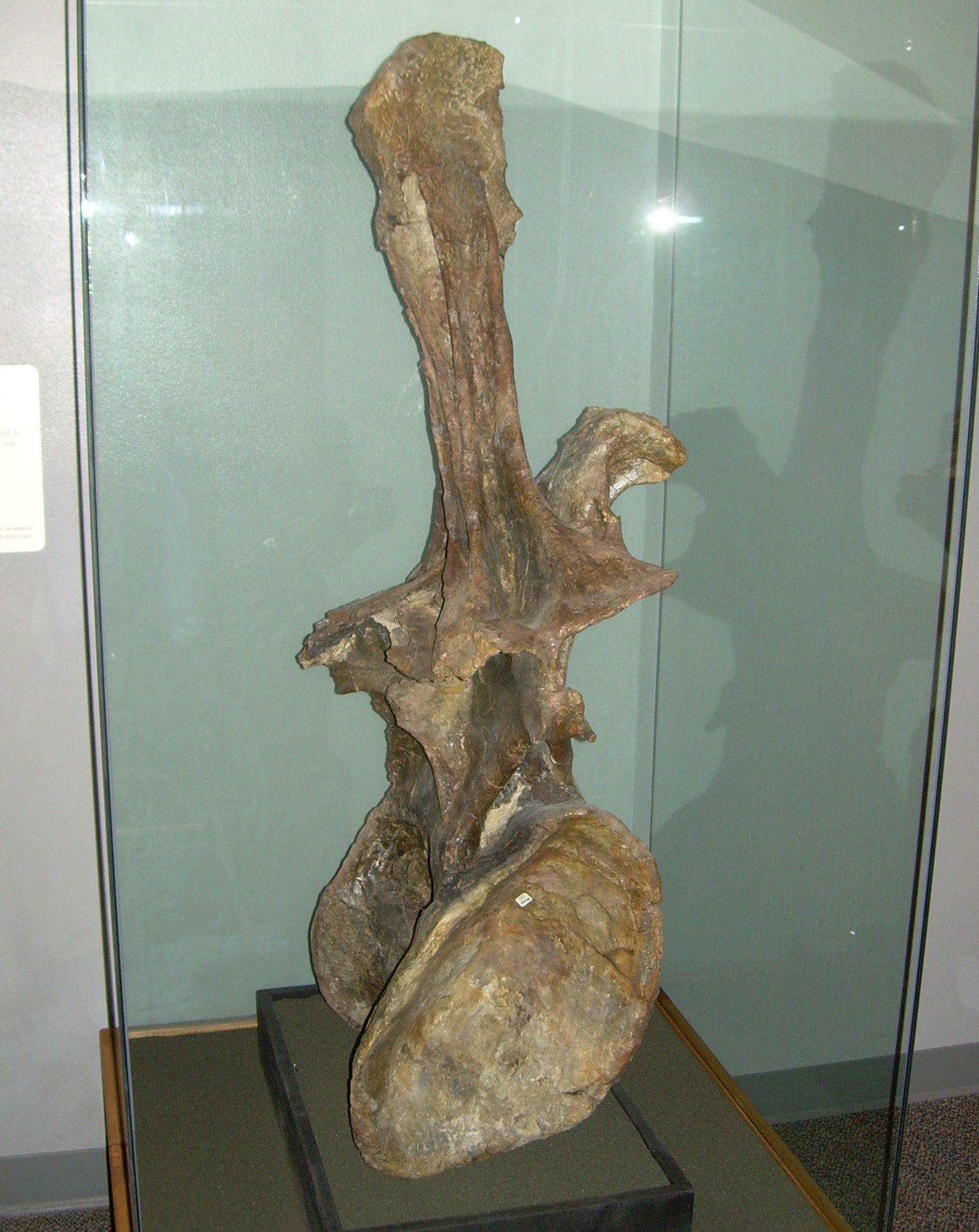 Réplique de la vertèbre dorsale de Supersaurus vivianae, l'holotype d'Ultrasauros. The North American Museum of Ancient Life - Thanksgiving Point