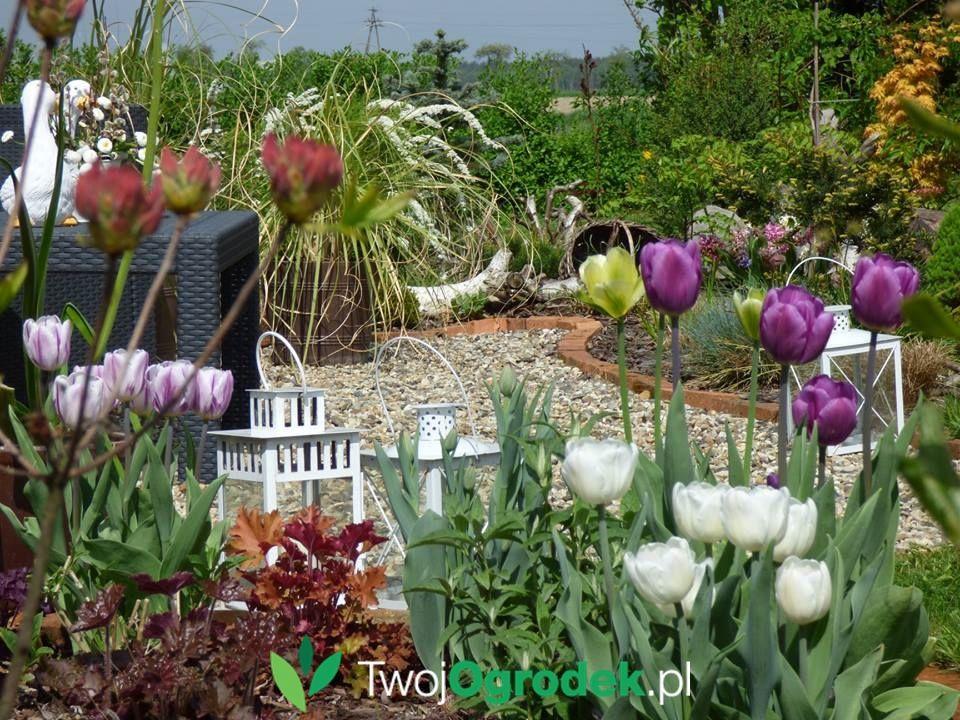 Wiosna W Ogrodzie Tulipany Plants