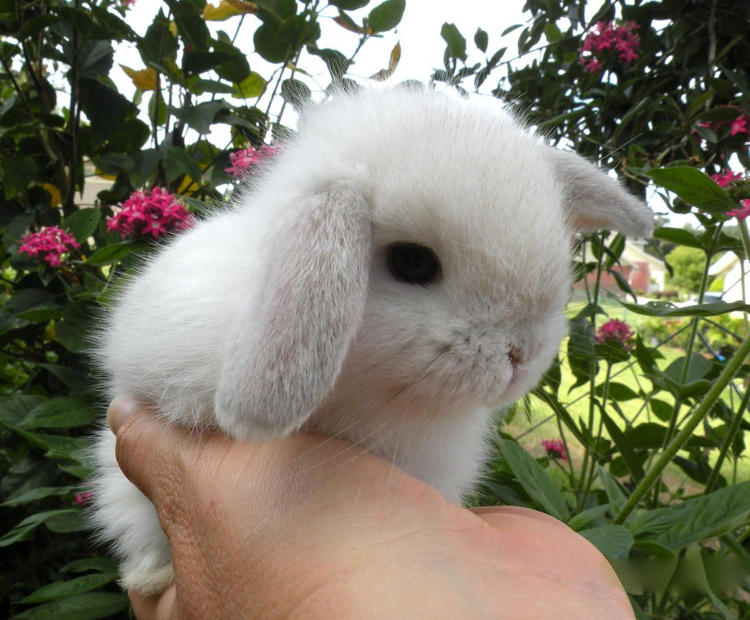 We Are Family Owned And Operated Our Rabbitry Offers Pet Or Show Quality Rabbits From Registered G Holland Lop Dwarf Baby Holland Lop Bunnies