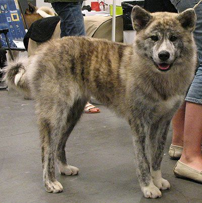 A Brindle Japanese Akita Inu One Of The Smartest And Rarest