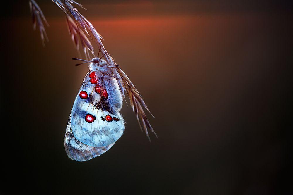 Roter Apollo Am Roten Horizont Kalt Warm Kontrast Schmetterling Insekten
