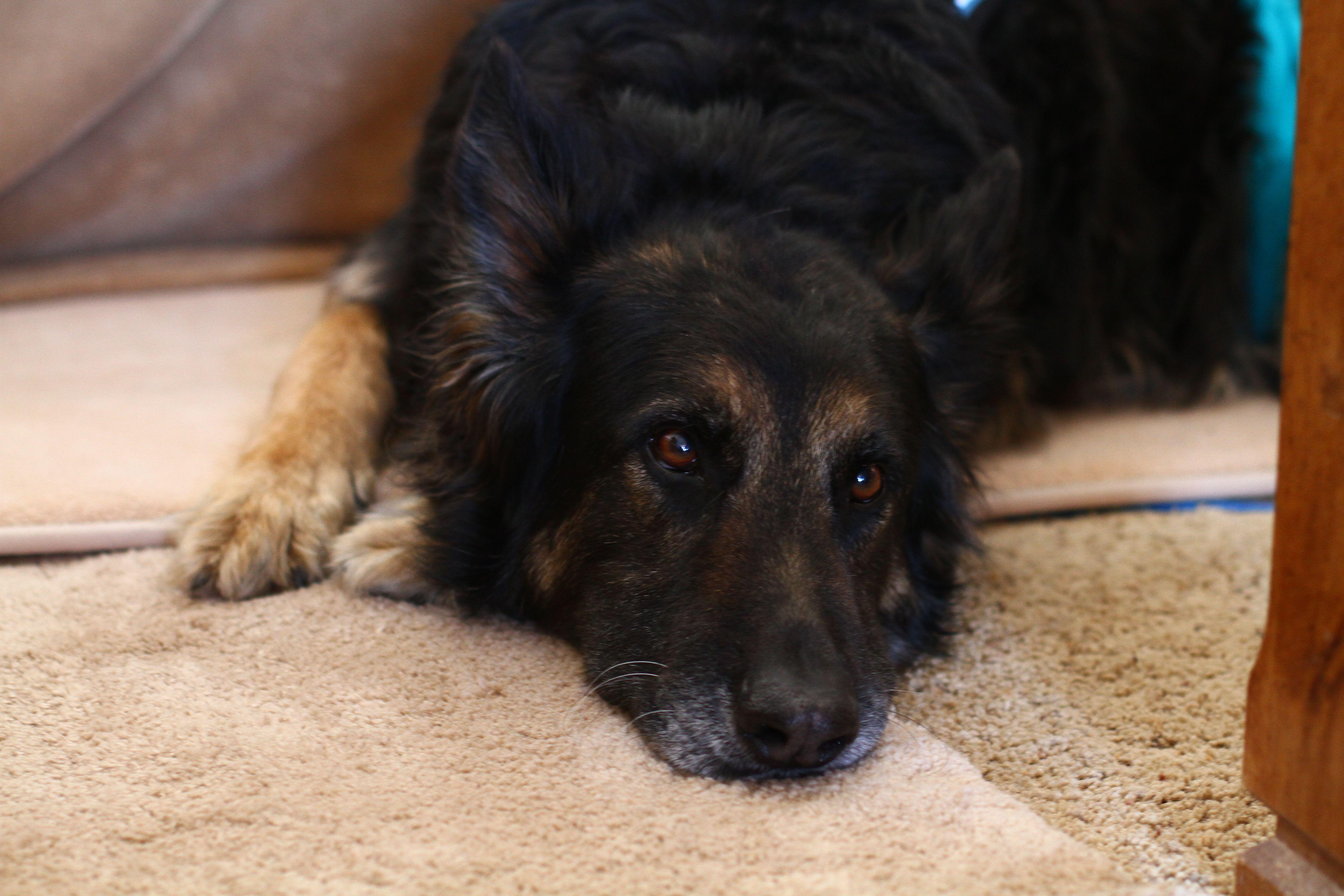 Skylar, German shepherd, FORMER shelter dog. Adopt from a
