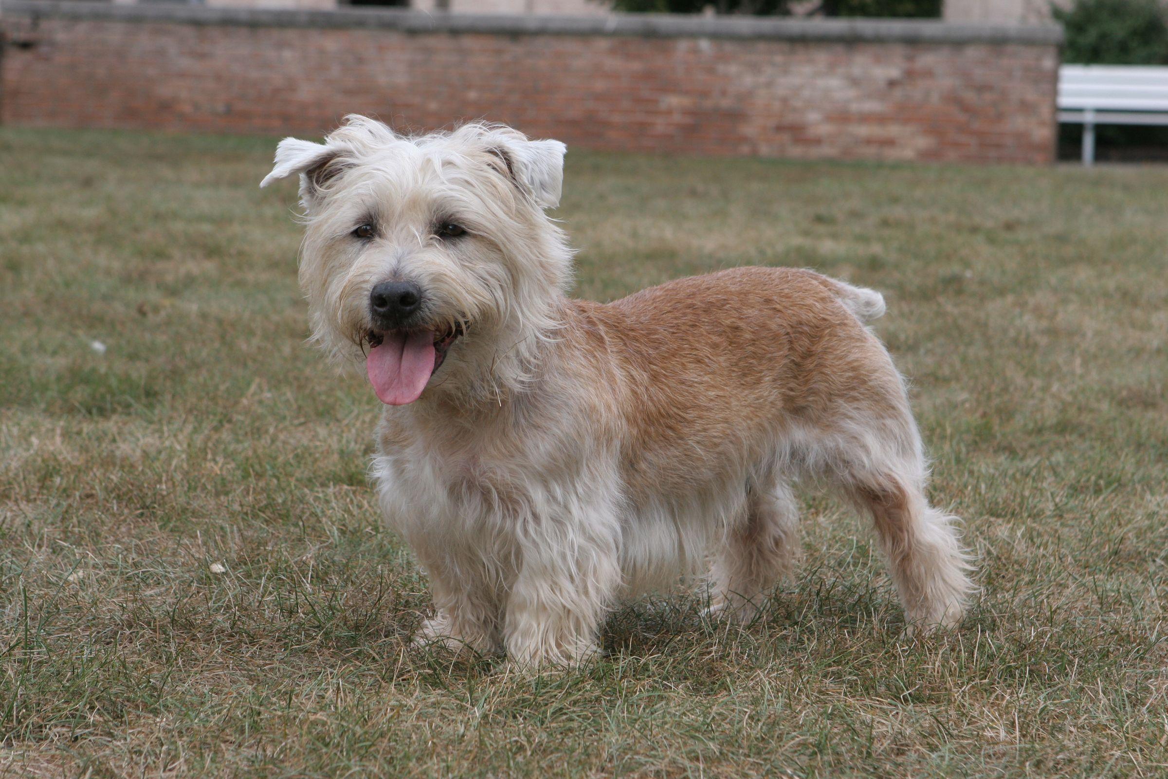 Glen of Imaal Terrier Dog Breed Information Glen of