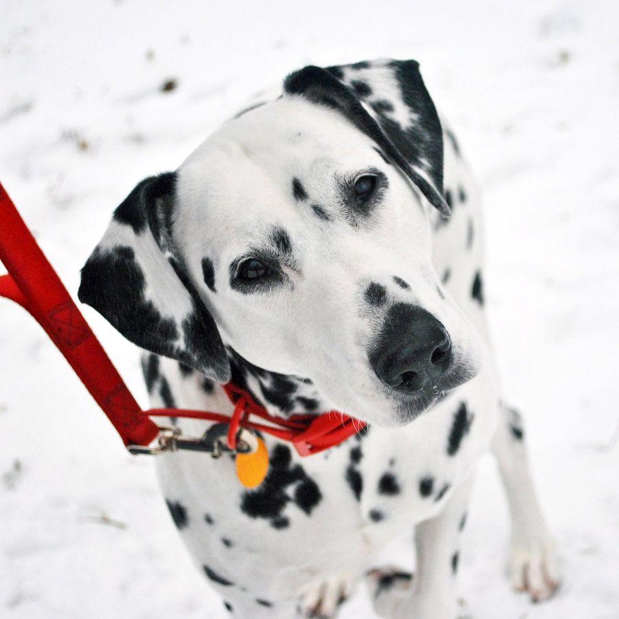Sabrina And The Snow Dalmatian Beauty I Love Dogs
