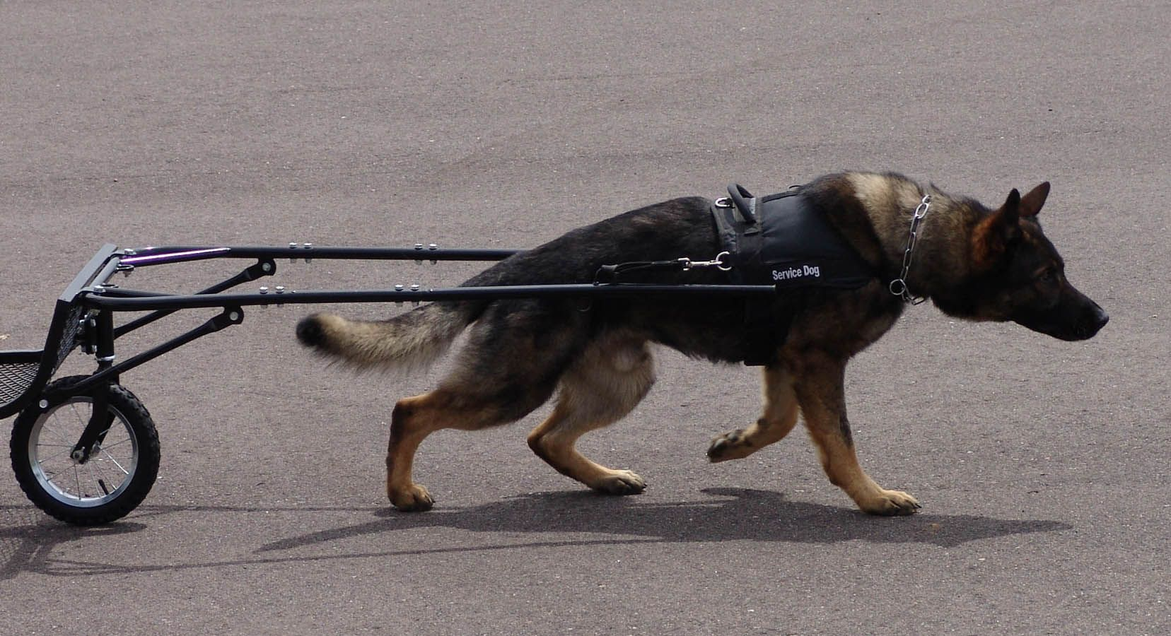 Pin by Teddy Freddy on Cart K9 dogs, Sporting dogs, Dogs