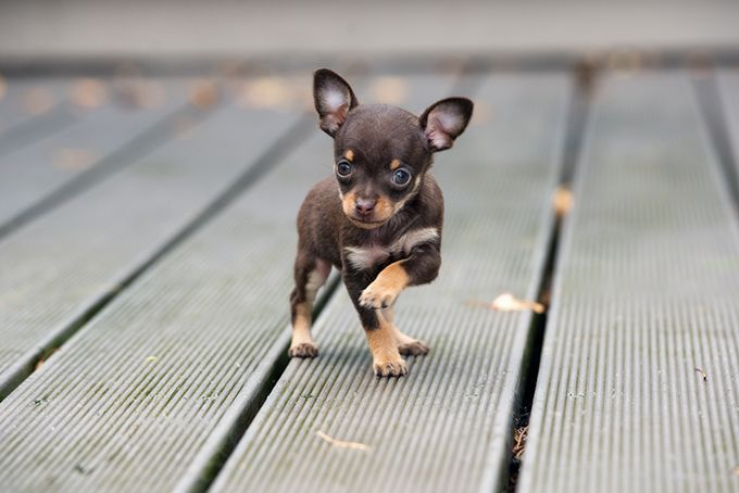 Teacup Puppies Chihuahua Puppies Teacup Chihuahua Puppies