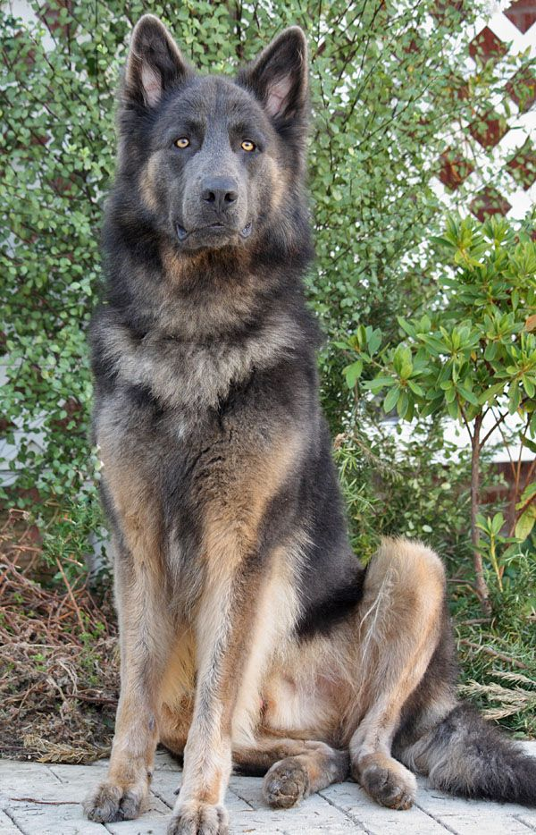 """Sergio von Stadtilm, a """"Blue"""" German Shepherd Westside"""