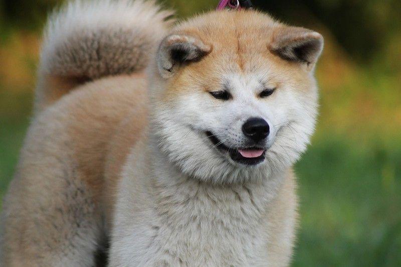 Das Sind Die Ungehorsamsten Hunderassen Hunde Rassen Hunderassen Akita Dog