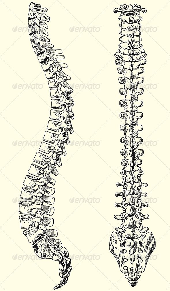 Human Spine Anatomy Pinterest Anatomy Tattoo And Drawings