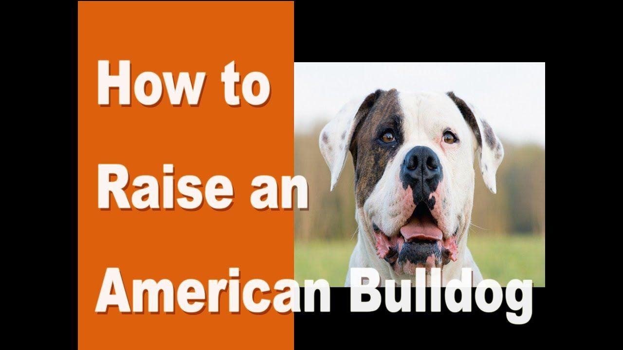 How To Raise An American Bulldog Americanbulldog Http Www