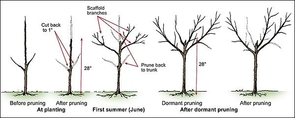 Time To Prune Fruit Trees But Wait Until The Rain Stops Napa Pruning Peach Trees Pruning Fruit Trees Fruit Trees