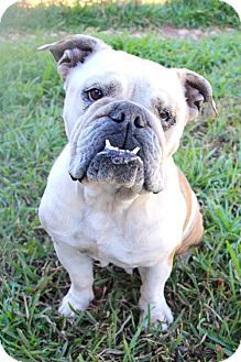 Helotes Tx English Bulldog Meet Lola A Dog For Adoption Http