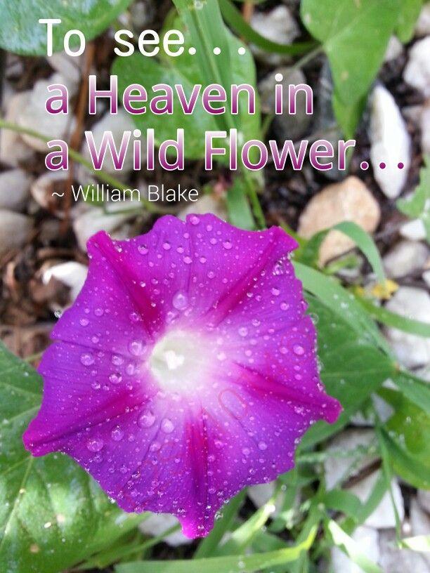 Morning Glory Flower Heaven Blake Flower Quotes Flowers Wild Flowers
