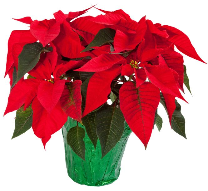 Poinsettia House Plant: Your Poor Poinsettia Plant Doesn't Have To Die Right After
