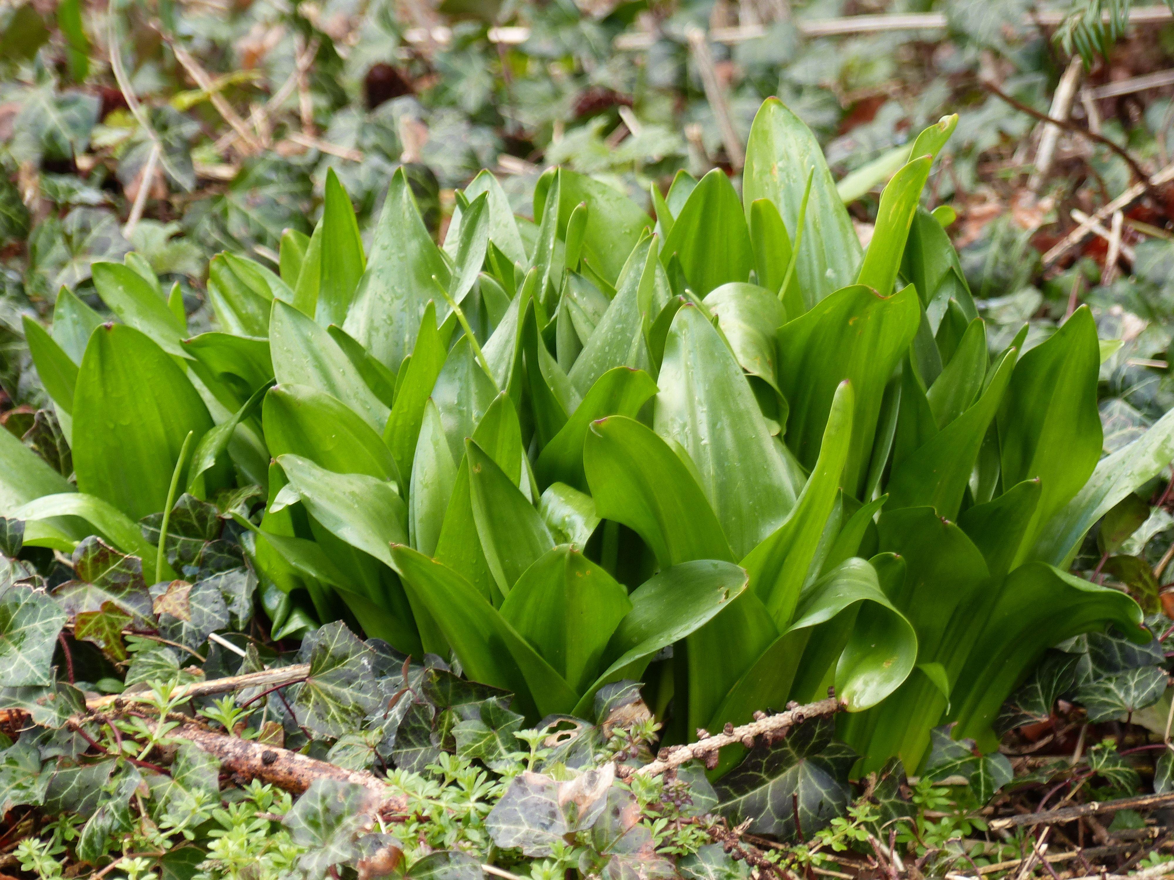 Schon im frühen Frühjahr zeigen sich die Blattschöpfe der