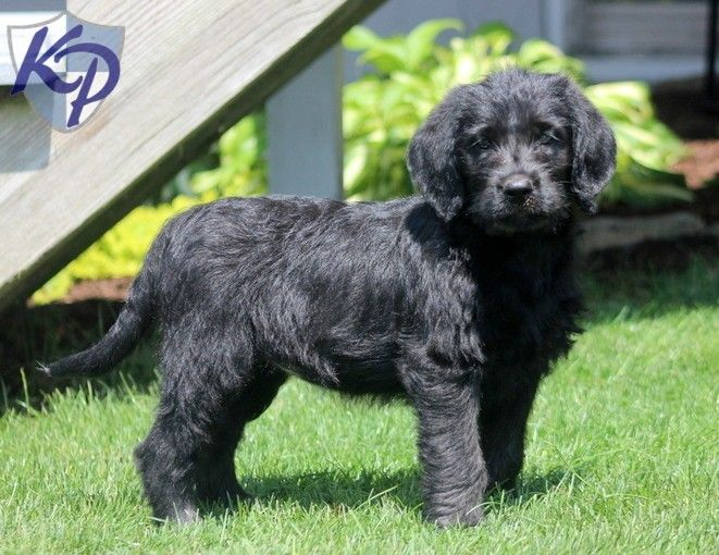 Puppy Finder Find Buy A Dog Today By Using Our Petfinder Labradoodle Puppy Finder Puppies