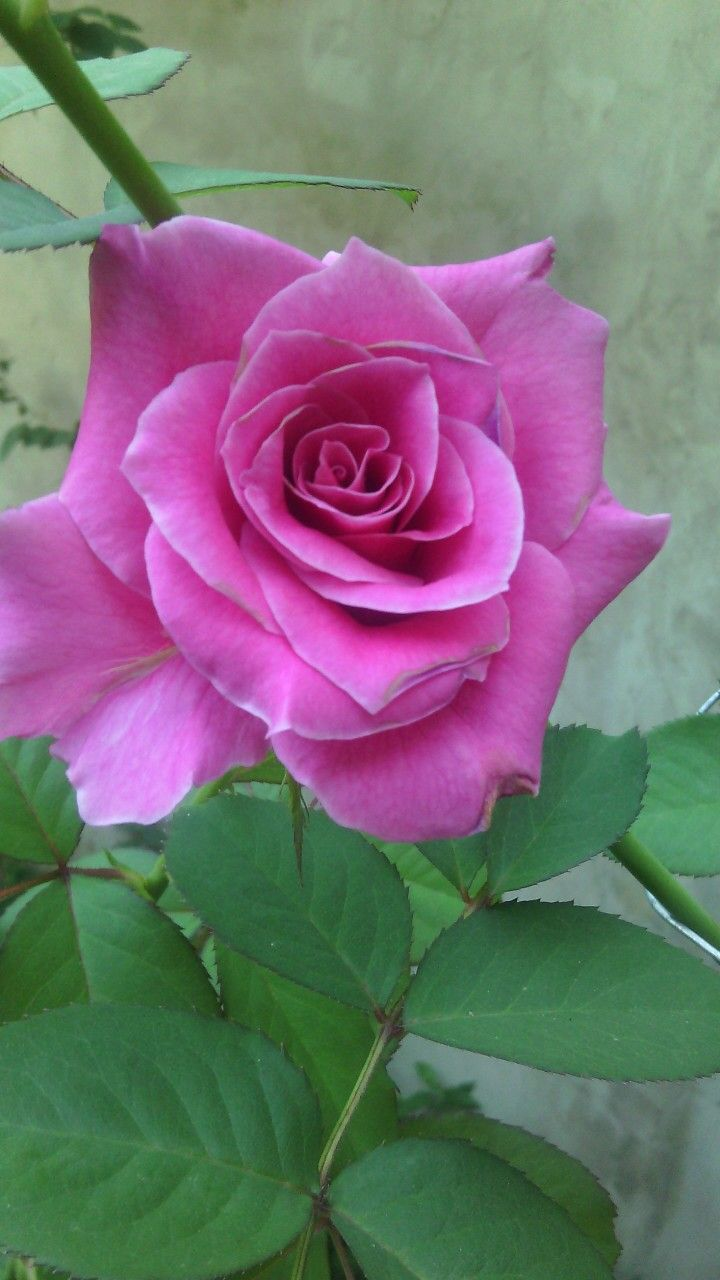 Pink rose flowers wow pinterest gller mor gller ve mor pink rose mightylinksfo