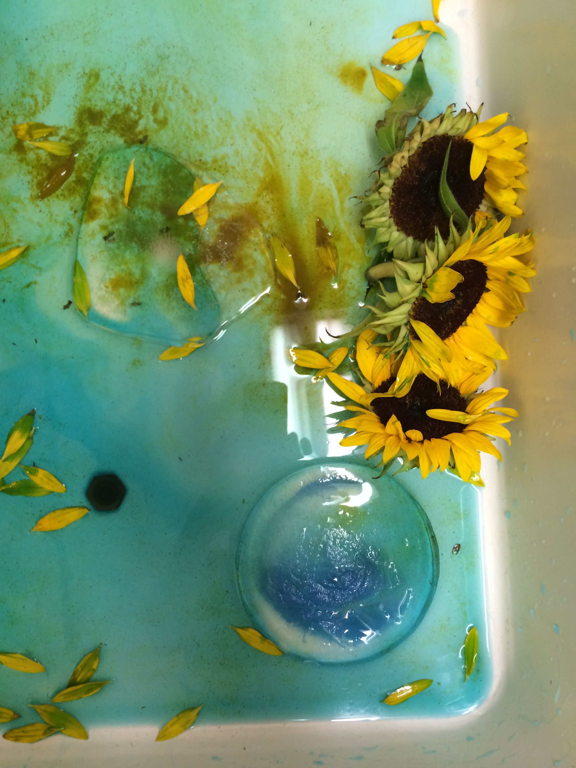 Sunflowers In Melting Ice