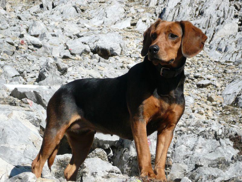Tyrolean Hound Tiroler Bracke Dogs Puppy Jagdhunde Hunde