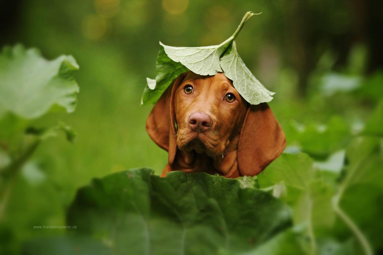 Vizsla Puppy By Kathrin Kontopp Most Beautiful Dog Breeds Vizsla Vizsla Dogs