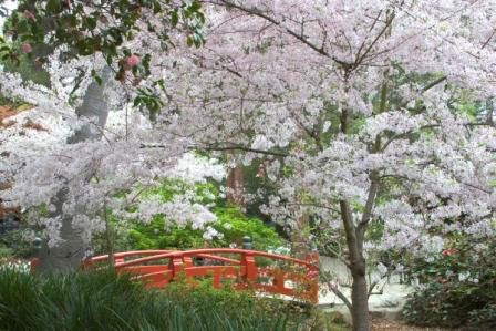 Celebrate Spring At The Descanso Gardens Cherry Blossom Festival Cherry Blossom Festival Asian Garden Bucket List Spring