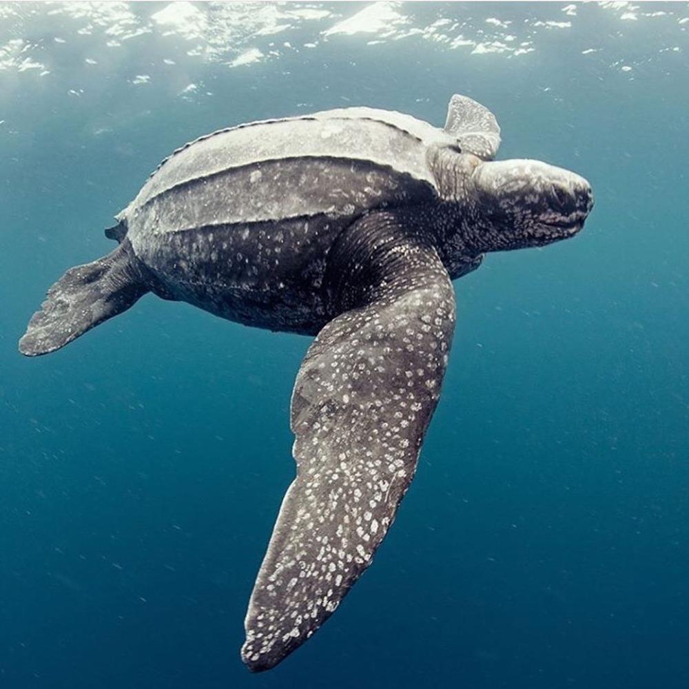 Leatherback Sea Turtle Leatherback Turtle Turtle Sea Turtle