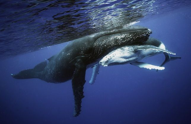 Listen to eerie audio of singing humpbacks, bowheads and other whales — including one whose lonely song has mystified scientists for decades.