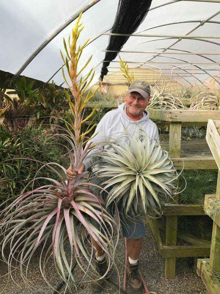 Wow Who Knew They Would Grow Soooo Big Air Plants Tillandsia Air Plant Plants