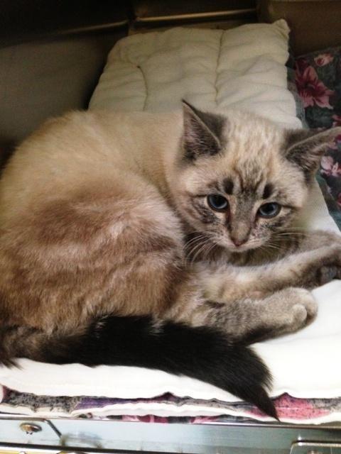 Adopt Moon Cake Available Soon On Petfinder Cat Behavior Adoption Siamese Kittens